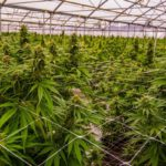 The Most Common Cannabis Contaminants You Should Know